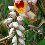 B.花の長さは4cmぐらい。つぼみの先がほんのりピンク色。花は唇弁の縁が黄色で、中央は赤に近いピンク色です。