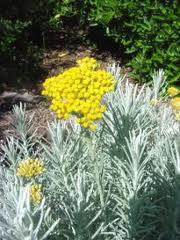 Helichrysumイモーテル