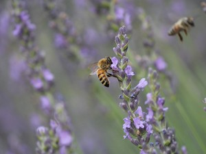 Bees_lavender-fields_7-2014
