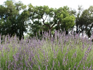 lavender-field-w-trees