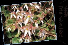 これが「ユキノシタ」の花