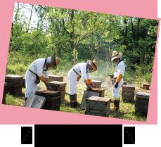 ひとつの巣箱に数万匹のミツバチが!