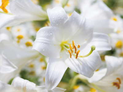 madonna_lily