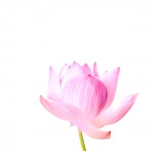 lotus_png-1