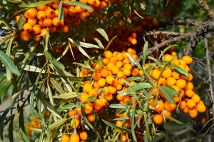 Branch of ripe orange sea-buckthorn berries, the concept of healthy food.