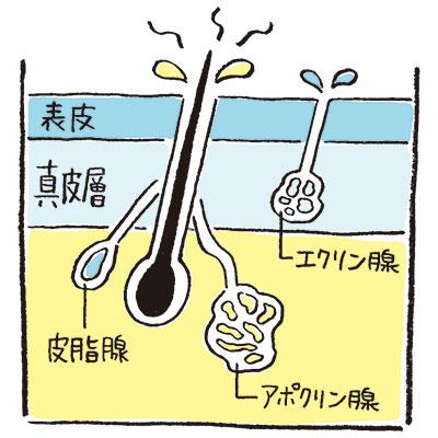 アポクリン腺からの汗がにおいやすい