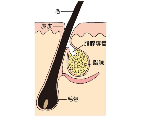 毛穴の構造や役割を皮膚科医が解説!